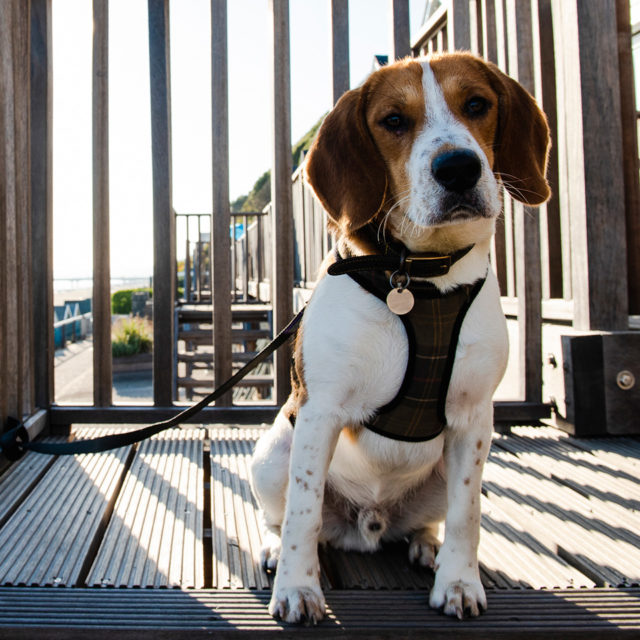 Cute beagle dog posing for a photo on the deck