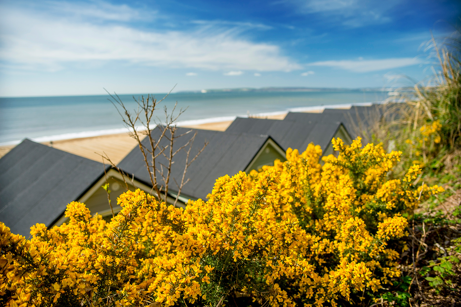 Close up shot of the yellow gorse bush behind the lodges