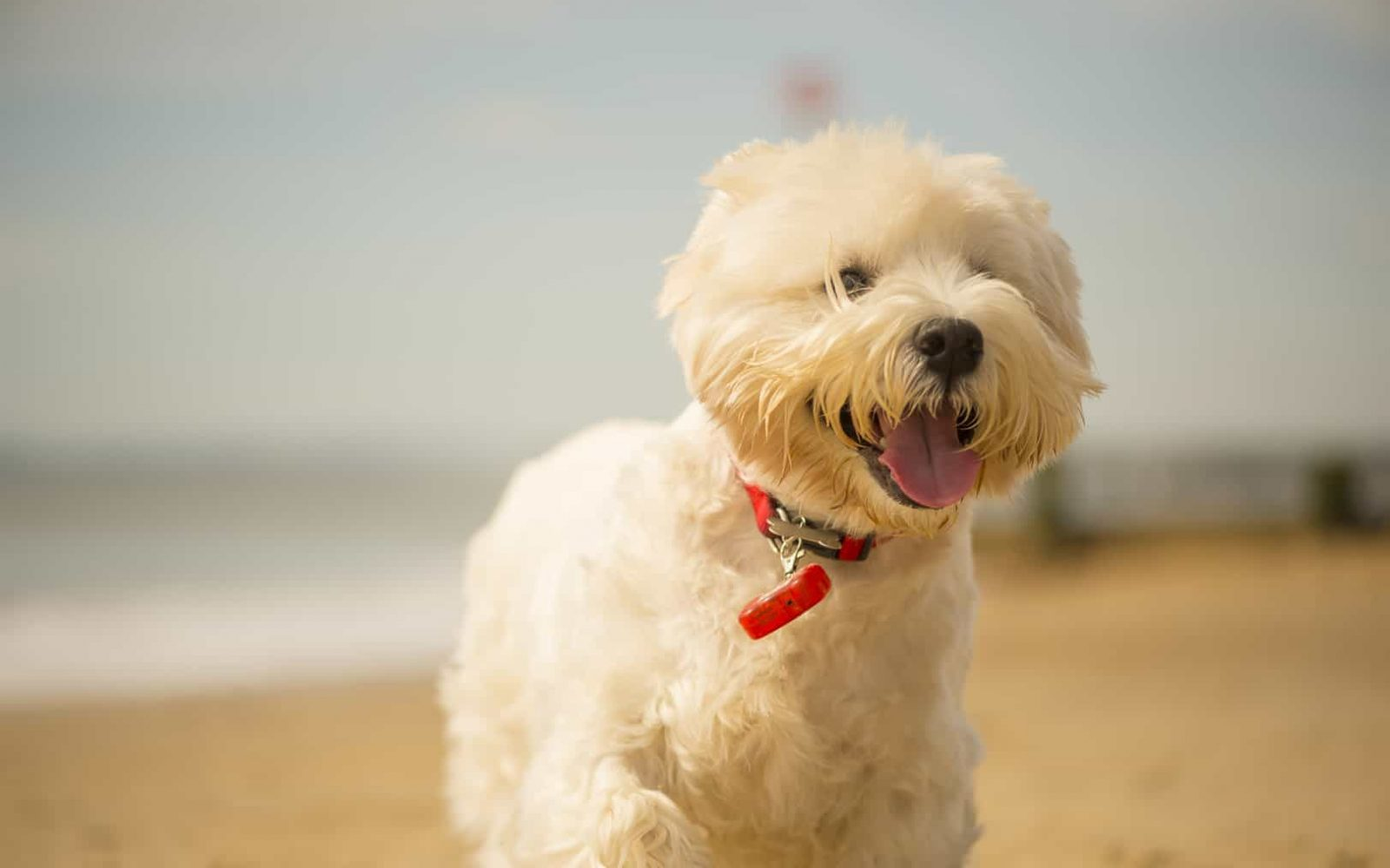 Fluffy dog enjoying a walk along Bournemouth Beach